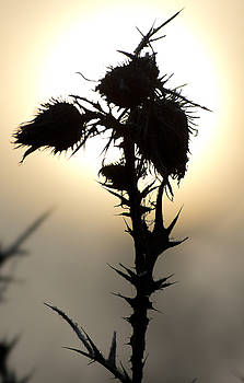 Thistle by Wayne Howes