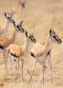 Thompson's Gazelle by Scott Presnell