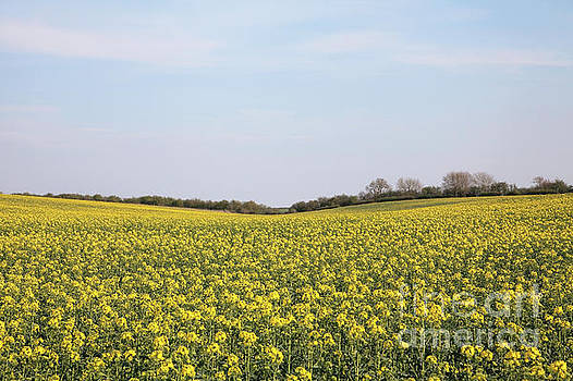 Thorn Dale rapeseed crop by Gavin Dronfield