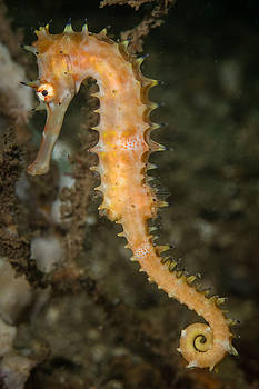 Thorny Seahorse by J Gregory Sherman