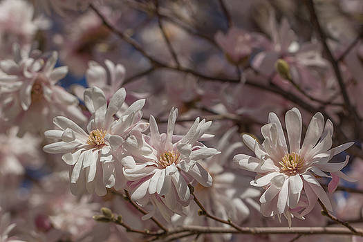 Three Amigo Magnolias by Karen Forsyth
