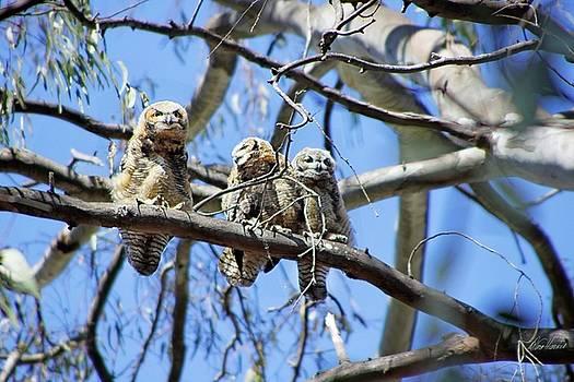 Diana Haronis - Three Baby Owls