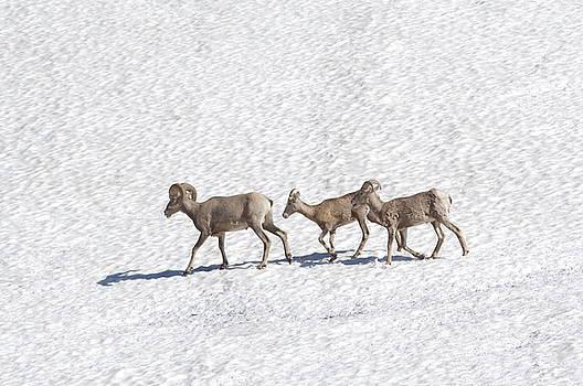 Three bighorn sheep walking across a snowfield by Jeff Swan