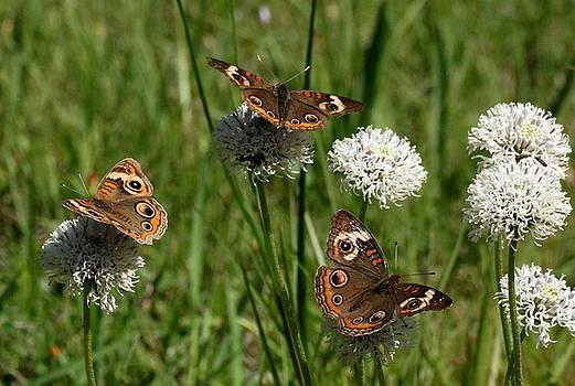 Three Buckeye Butterflies on Wildflowers by Sheila Brown
