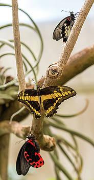 Dee Carpenter - Three Butterflies