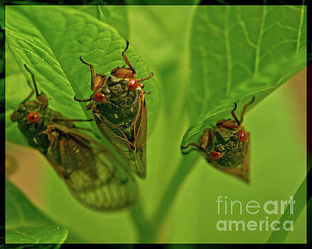 Three Cicadas by Photo Captures by Jeffery