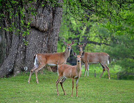 Three Does - Whitetail Deer by rd Erickson