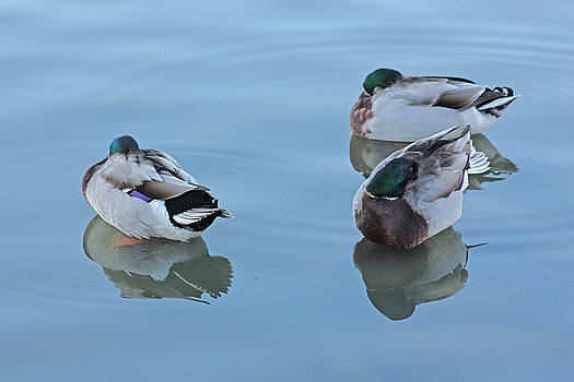 Three ducks resting. by Robert Rodda