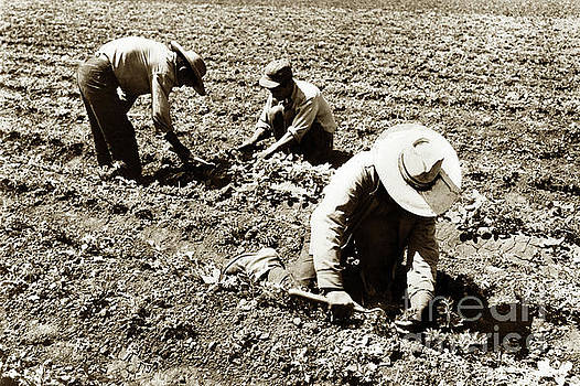 Three filed workers using short handled Hoe  by California Views Mr Pat Hathaway Archives