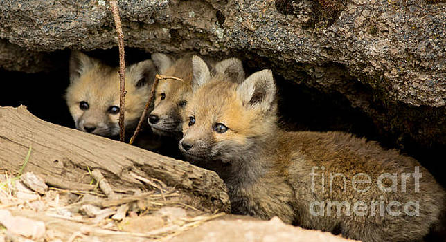 Three Fox Kits Peeking From Den by Natural Focal Point Photography