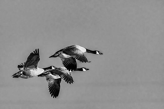 Darren Wilkes - Three Geese