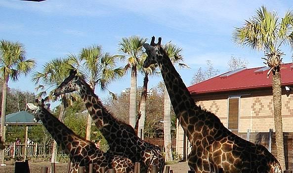 Three Giraffes by Camera Candy