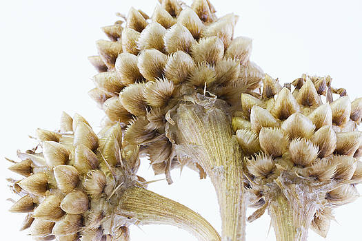 Sandra Foster - Three Globe Cornflower Seed Heads - Macro