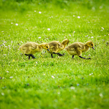 Chris Bordeleau - Three Goslings