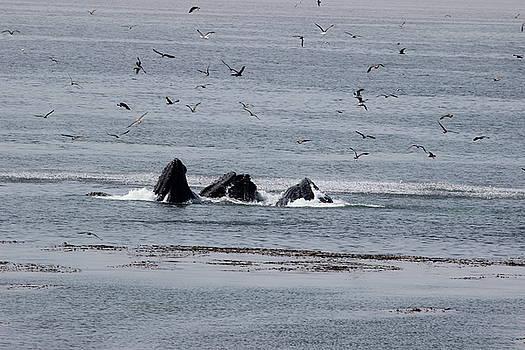 Gary Canant - Three Humpback whales feeding