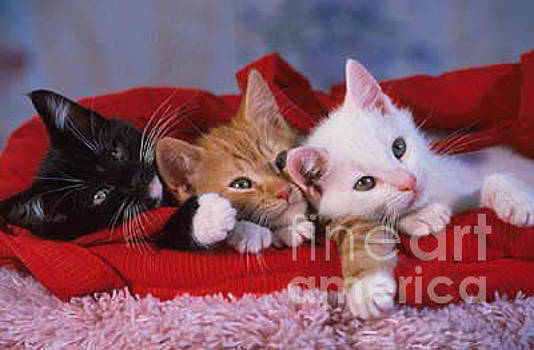 Three Kittens Friends by Sandy Carey