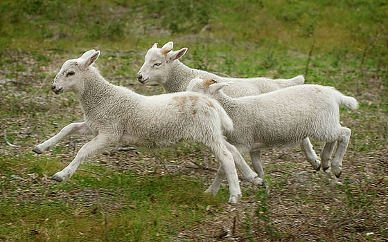 Warren Sarle - Three Lambs Running 1