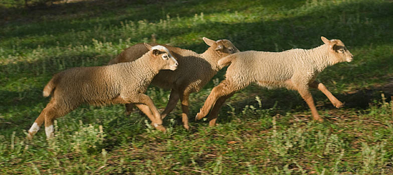 Warren Sarle - Three Lambs Running 2