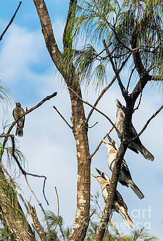 Three laughing Kookaburras by Andrew Michael