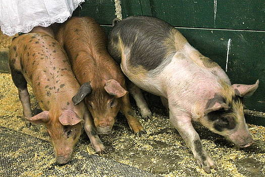 Three Little Piglets and a Petticoat by Nancy Furstinger