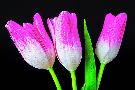 Three Pink White Tulips by Garry Gay