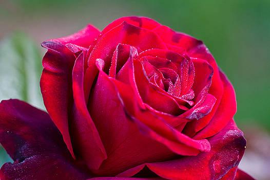 Three Quarter View Happy Red Rose by Dina Calvarese