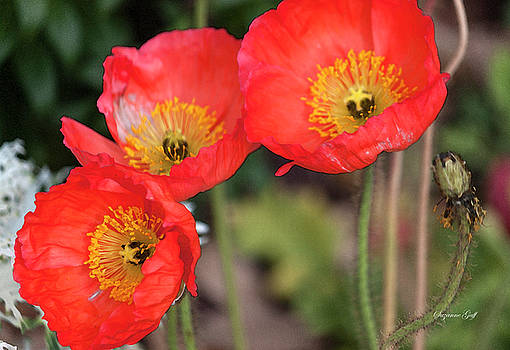 Three Red Poppies by Suzanne Gaff