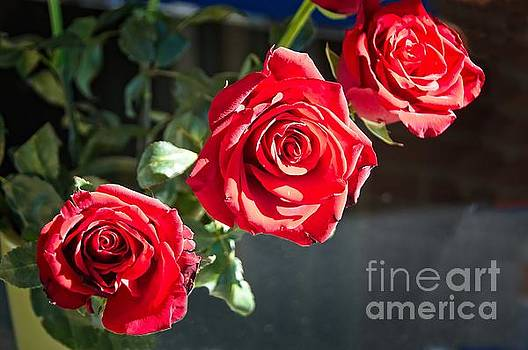 Three red roses in full bloom. by Geoff Childs