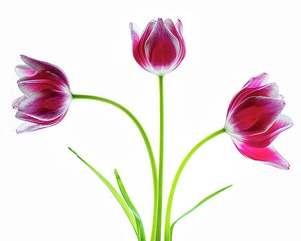 Three Red Tulips on White by Rebecca Cozart