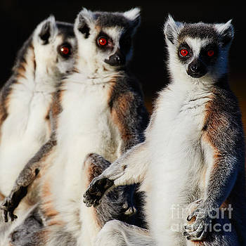Three Ring-tailed lemurs by Nick Biemans