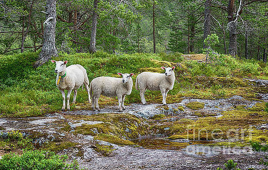 Three Sheep Animals In Nature In Norway by Compuinfoto