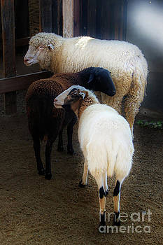 Two Sheep and a Goat by Norma Warden
