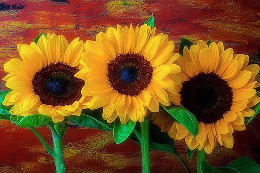 Three Sunflowers Against Rustic Wall by Garry Gay