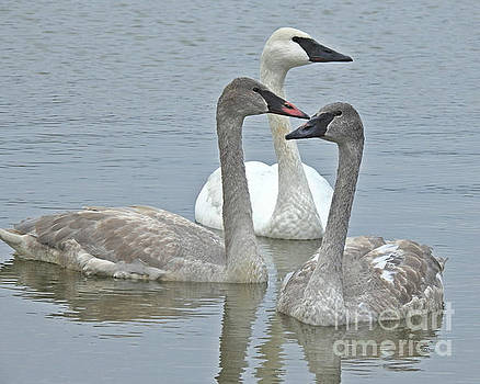 Three Swans Swimming by Kathy M Krause