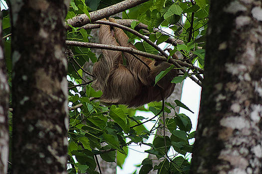 Three Toed Sloth by L L