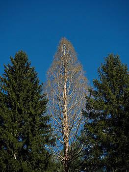 Three Trees by Brian Shepard