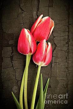 Three Tulips by Edward Fielding