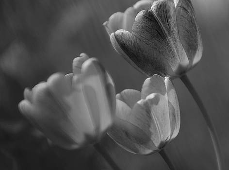 Three Tulips by Hieu  Tran