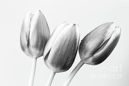 Three Tulips by Tanya C Smith