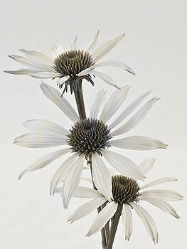 Sandra Foster - Three White Coneflowers