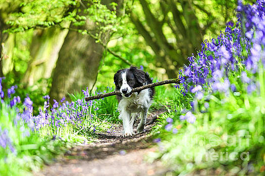 Molly enjoying  fetching her stick in the Bluebells by John Keates