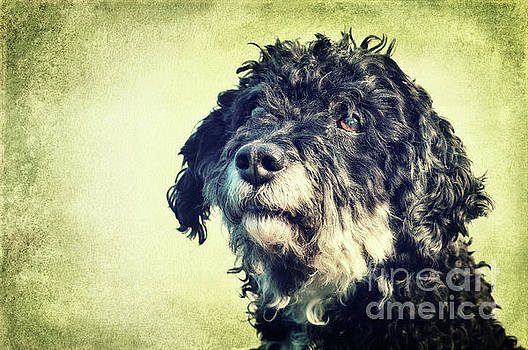 Tibet-Terrier Poodle Mix  by Angela Doelling AD DESIGN Photo and PhotoArt