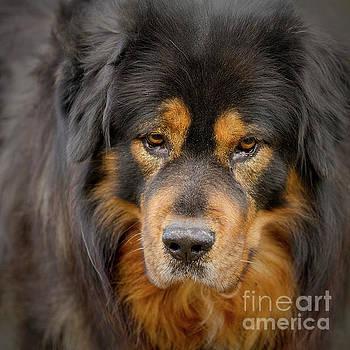 Heiko Koehrer-Wagner - Tibetan Herding Dog Portrait