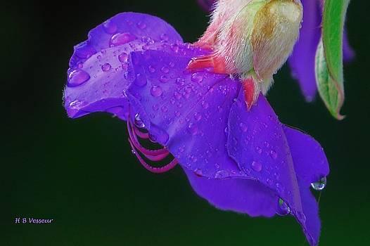 Tibouchina in rain by B Vesseur