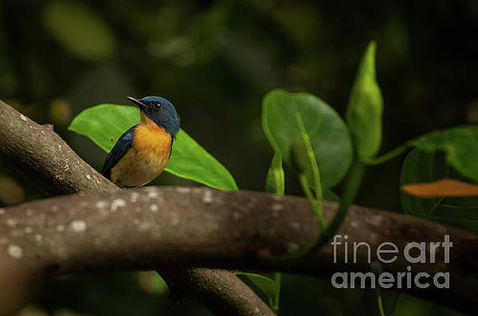 Tickell's blue flycatcher by Venura Herath