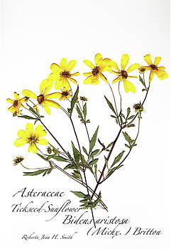 Tickseed Sunflower by Roberta Jean Smith