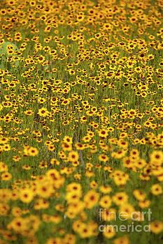 Herronstock Prints - Tickseed wildflower Coreopsis gladiata