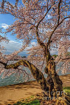 Tidal Basin Flowering Cherry Tree by Thomas R Fletcher