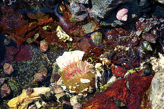 Peggy Collins - Tide Pool - Sea Anemone and Shells