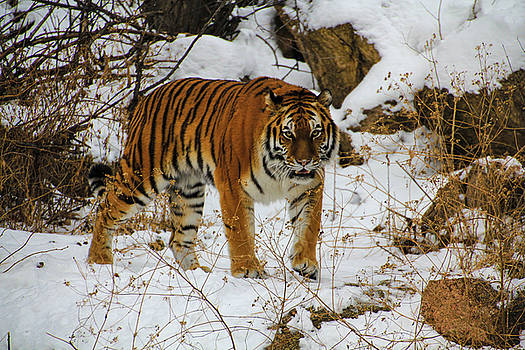Tiger 1 by Angela Moreau
